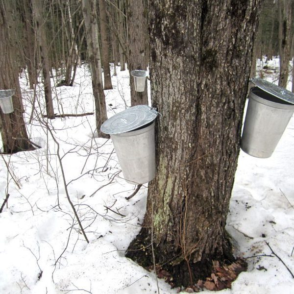 Wetlands Maples